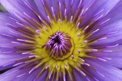Close-up van een lotusbloembloem Royalty-vrije Stock Foto's