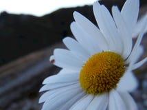 Close-up van een madeliefje stock afbeeldingen