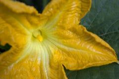 Close-up van een mannelijke bloem van een pompoeninstallatie in bloei Stock Fotografie