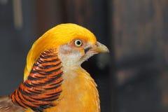 Close-up van een mannelijke gouden fazant Stock Afbeeldingen