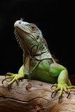 Close-up van een mannelijke Groene Leguaan (Leguaanleguaan) royalty-vrije stock afbeeldingen