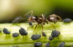 Close-up van een mier en een bladluis Stock Foto's