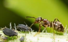 Close-up van een mier en een bladluis Royalty-vrije Stock Foto's
