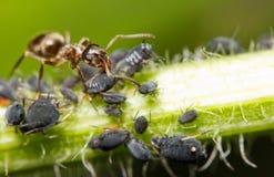 Close-up van een mier en een bladluis Royalty-vrije Stock Afbeeldingen