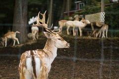 Close-up van een mooi hert in een dierlijk park met schapen en andere dieren op de achtergrond royalty-vrije stock foto's