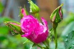 Close-up van een mooi roze met regendruppels met roze knop in de tuin stock afbeeldingen