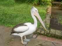 Close-up van een mooie Australische pelikaan Pelecanus conspicil stock afbeelding