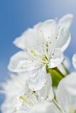 Mooie kersenbloei voor blauwe hemel. Stock Foto's