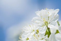 Mooie kersenbloei voor blauwe hemel. Stock Afbeeldingen