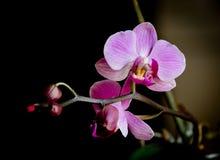 Close-up van een mooie lilac bloem met een donkere achtergrond royalty-vrije stock foto