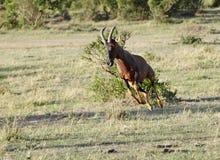 Close-up van een mooie Topi-antilope Royalty-vrije Stock Afbeeldingen