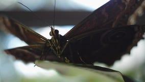 Close-up van een mooie vlinder met een warme zacht-nadruk Kader Zwarte vlinder in openlucht stock video