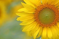 Close-up van een mooie zonnebloem Royalty-vrije Stock Afbeeldingen