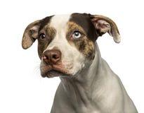 Close-up van een muur-eyed geïsoleerd kruisingshond die, weg eruit zien Royalty-vrije Stock Foto