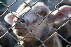 Close-up van een ongelukkig schaap achter de tralies, het leven van dieren in gevangenschap stock afbeeldingen