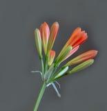 Het ontluiken Clivia op grijs Royalty-vrije Stock Foto