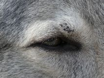 Close-up van een oog van een wolfshond royalty-vrije stock afbeelding