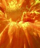 Close-up van een oranje bloem Stock Afbeeldingen