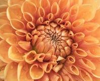 Close-up van een oranje dahlia Royalty-vrije Stock Afbeelding