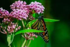 Close-up van een oranje en zwarte monarchvlinder op een roze milkw stock afbeelding