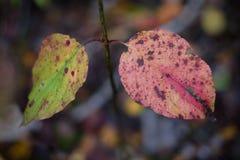 Close-up van een paar gebroken bladeren in rood en groen met grunge Stock Afbeelding
