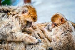 Close-up van een paar macaques Royalty-vrije Stock Foto's