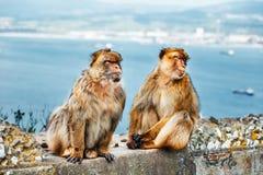 Close-up van een paar macaques Stock Afbeeldingen