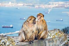 Close-up van een paar macaques Royalty-vrije Stock Foto