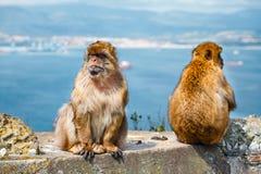 Close-up van een paar macaques Stock Foto's