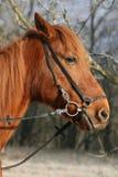 Close-up van een paard Stock Fotografie