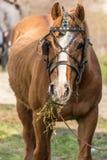 Close-up van een paard die hooi eten Stock Foto