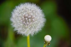 Closeup of a dandelion showing its seeds stock photo