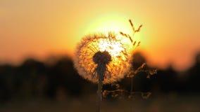 Close-up van een paardebloem waardoor de zon bij zonsondergang met warme stralen glanst stock videobeelden