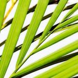 Close-up van een palm Stock Afbeelding