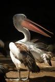 Close-up van een pelikaan Royalty-vrije Stock Afbeeldingen