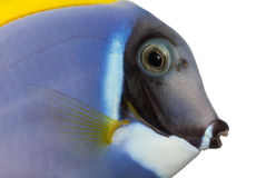Close-up van een profiel van het Poeder blauw zweempje, Acanthurus leucosternon Stock Afbeelding