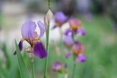 Close-up van een purpere irisbloem royalty-vrije stock afbeeldingen