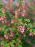 Close-up van een rode bloeiende besstruik Royalty-vrije Stock Foto's