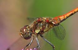 Close-up van een rode darterlibel royalty-vrije stock afbeeldingen