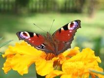 Close-up van een rode vlinder Stock Foto