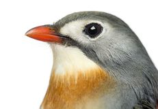 Close-up van een rood-Gefactureerde Leiothrix, Leiothrix-lutea royalty-vrije stock fotografie