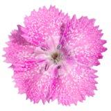 Close-up van een zoete bloem van William Stock Afbeelding