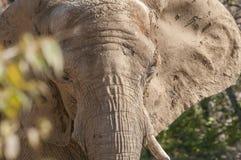 Close-up van een ruw gevild olifantsgezicht Royalty-vrije Stock Foto's