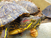 Close-up van een schildpad Stock Fotografie
