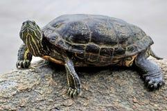 Close-up van een schildpad die op een rots in een meer rusten stock afbeeldingen