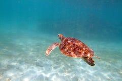 Close-up van een schildpad onder water, ondiepe nadruk wordt geschoten die Riviera Ma Stock Foto's