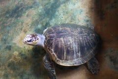 Close-up van een Schildpad, Sri Lanka Stock Fotografie