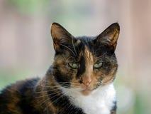Close-up van een Schildpad vrouwelijke kat Stock Fotografie