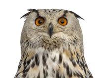 Close-up van een Siberische bubo van Eagle Owl - Bubo- royalty-vrije stock foto's