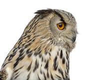 Close-up van een Siberische bubo van Eagle Owl - Bubo- royalty-vrije stock afbeelding